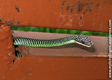 paradise-tree-snake